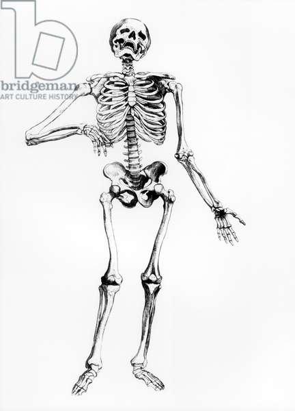 Human Skeleton (engraving) (b/w photo)