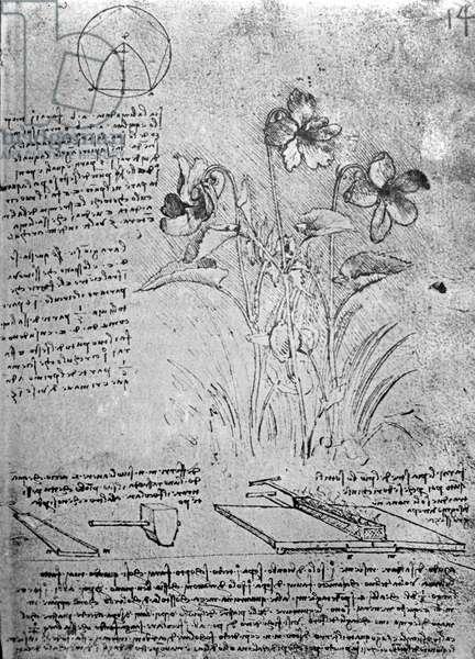 Studies of Violas (Viola odorata and Viola canina), fol. 14r from Manuscript B, c.1487-90 (pen and ink on paper)