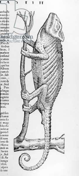 Chameleon, illustration from 'Historiae animalium liber II: De Quadrupedibus Oviparis' by Conrad Gesner, published 1554 (engraving)