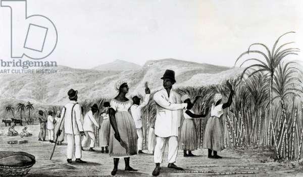 Negroes Cutting Sugar Cane on a Jamaican Plantation, 1825 (aquatint) (b&w photo)