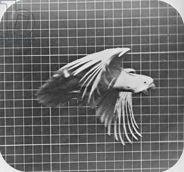 Cockatoo in flight, from 'Animal Locomotion, An Electro-Photographic Investigation of Consecutive Phases of Animal Movement', c.1872-85 (b/w photo)
