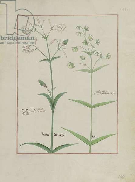 Ms Fr. Fv VI #1 fol.133v Illustration from 'The Book of Simple Medicines' by Mattheaus Platearius (d.c.1161) c.1470 (vellum)