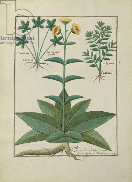 Ms Fr. Fv VI #1 fol.150v Illustration from the 'Book of Simple Medicines' by Mattheaus Platearius (d.c.1161) c.1470 (vellum)
