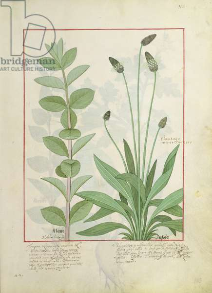 Ms Fr. Fv VI #1 fol.113 Mint and Plantain, or Ribwort, illustration from 'The Book of Simple Medicines' by Mattheaus Platearius (d.c.1161) (vellum)