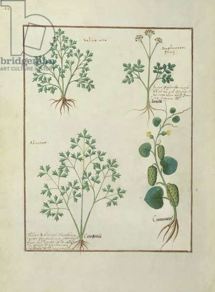 Ms Fr. Fv VI #1 fol.122v Top Row: Sage and Bupleurum, illustration from 'The Book of Simple Medicines' by Mattheaus Platearius (d.c.1161) c.1470 (vellum)