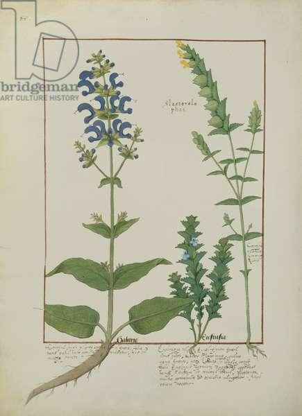 Ms Fr. Fv VI #1 fol.144v Illustration from the 'Book of Simple Medicines' by Mattheaus Platearius (d.c.1161) c.1470 (vellum)