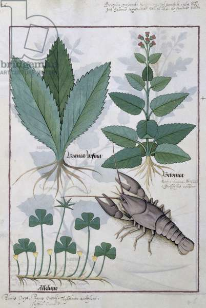 Ms Fr. Fv VI #1 fol.139v Illustration from the 'Book of Simple Medicines' by Mattheaus Platearius (d.c.1161) c.1470 (vellum)