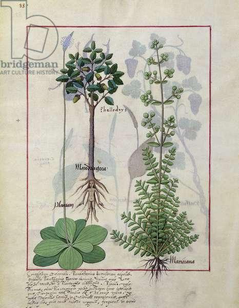 Ms Fr. Fv VI #1 fol.155v Illustration from the 'Book of Simple Medicines' by Mattheaus Platearius (d.c.1161) c.1470 (vellum)