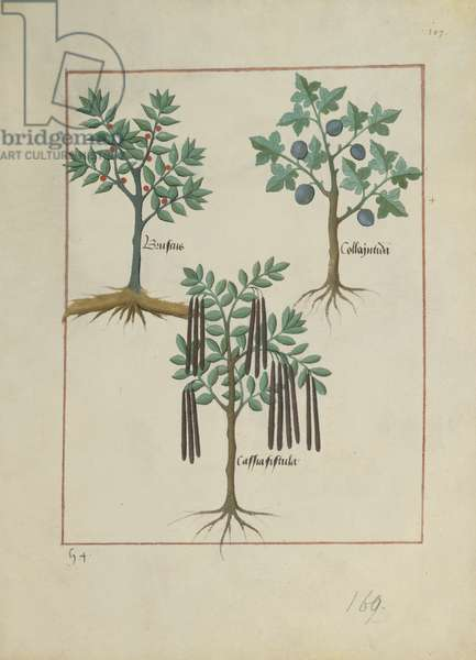 Ms Fr. Fv VI #1 fol.165r Illustration from the 'Book of Simple Medicines' by Mattheaus Platearius (d.c.1161) c.1470 (vellum)