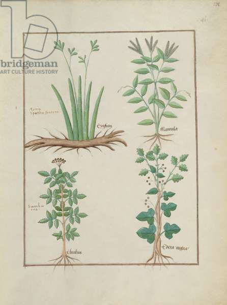 Ms Fr. Fv VI #1 fol.132r Top row: Xyris and Spearwort. Bottom row: Common Elderberry and Hedera, illustration from 'The Book of Simple Medicines', by Mattheaus Platearius (d.c.1161) c.1470 (vellum)