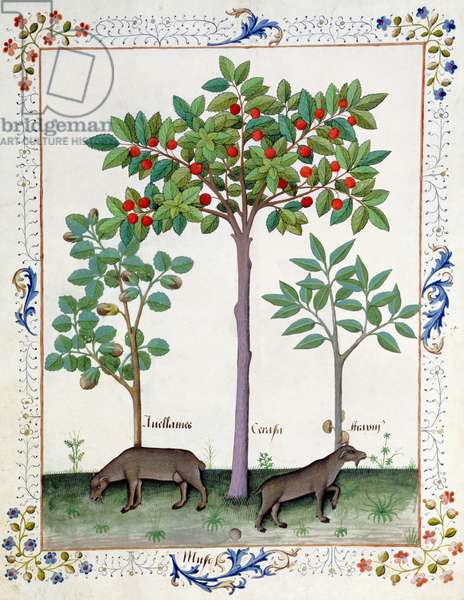 Ms Fr. Fv VI #1 fol.162r Hazelnut Bush (left) and Cherry tree (centre), Illustration from the 'Book of Simple Medicines' by Mattheaus Platearius (d.c.1161) c.1470 (vellum)