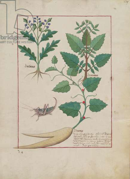 Ms Fr. Fv VI #1 fol.139r Illustration from the 'Book of Simple Medicines' by Mattheaus Platearius (d.c.1161) c.1470 (vellum)