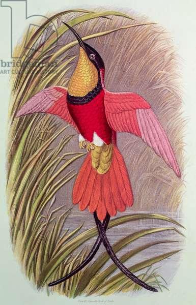 Humming Bird: Crimson Topaz, plate 23 from 'Cassell's Book of Birds', c.1870
