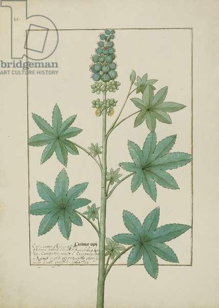 Ms Fr. Fv VI #1 fol.154v Illustration from the 'Book of Simple Medicines' by Mattheaus Platearius (d.c.1161) c.1470 (vellum)