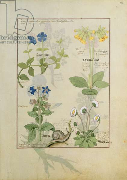 Ms Fr. Fv VI #1 fol.114 Top row: Blue Clematis or Crowfoot and Primula. Bottom row: Borage or Forget-me-not and Marguerita Daisy, illustration from 'The Book of Simple Medicines' by Matthaeus Platearius (d.c.1161) c.1470 (vellum)