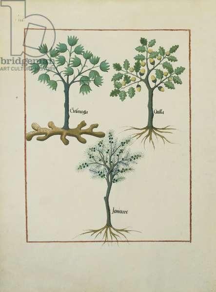 Ms Fr. Fv VI #1 fol.164v Illustration from the 'Book of Simple Medicines' by Mattheaus Platearius (d.c.1161) c.1470 (vellum)
