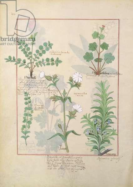 Ms Fr. Fv VI #1 fol.135v Illustration from 'The Book of Simple Medicines' by Mattheaus Platearius (d.c.1161) c.1470 (vellum)