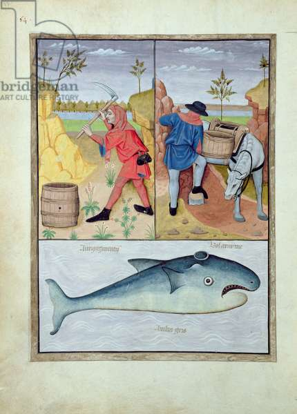 Ms Fr. Fv VI #1 fol.143v Illustration from the 'Book of Simple Medicines' by Mattheaus Platearius (d.c.1161) c.1470 (vellum)