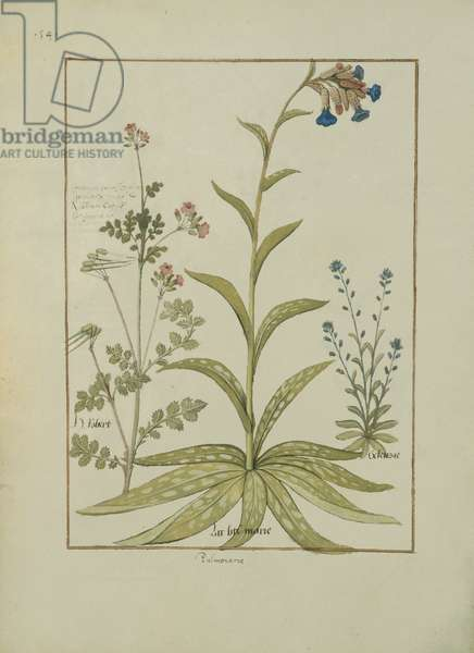 Ms Fr. Fv VI #1 fol.138v Lungwort and Geranium, Illustration from the 'Book of Simple Medicines' by Mattheaus Platearius (d.c.1161) c.1470 (vellum)