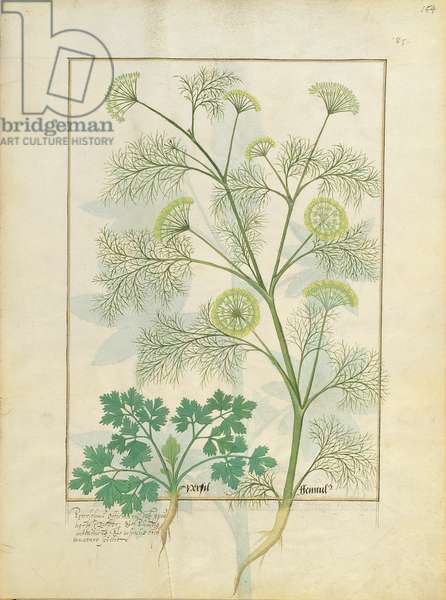 Ms Fr. Fv VI #1 fol.154r Parsley and Fennel, Illustration from the 'Book of Simple Medicines' by Mattheaus Platearius (d.c.1161) c.1470 (vellum)