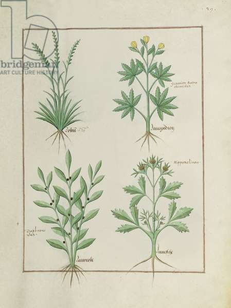 Ms Fr. Fv VI #1 fol. 126r Top row: Lolni and Geranium. Bottom row: Daphnoides and Parsley, illustration from 'The Book of Simple Medicines', by Matteaus Platearius (d.c.1161) c.1470 (vellum)