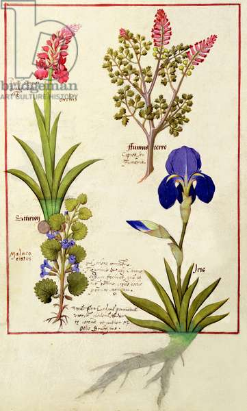 Ms Fr. Fv VI #1 fol.114v Top row: Orchid and Fumitory or Bleeding Heart. Bottom row: Hedera and Iris, illustration from 'The Book of Simple Medicines' by Mattheaus Platearius (d.c.1161) c.1470 (vellum)