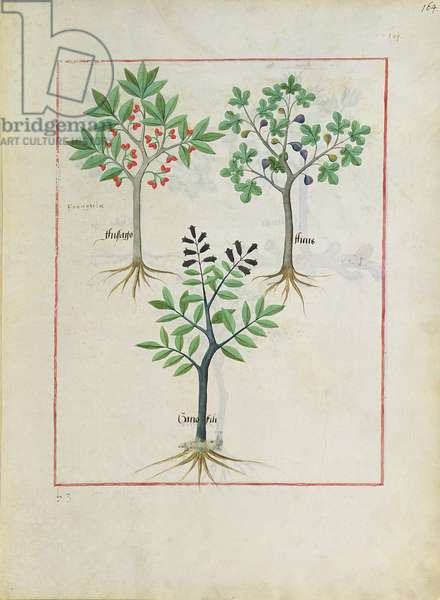 Ms Fr. Fv VI #1 fol.164r Illustration from the 'Book of Simple Medicines' by Mattheaus Platearius (d.c.1161) c.1470 (vellum)