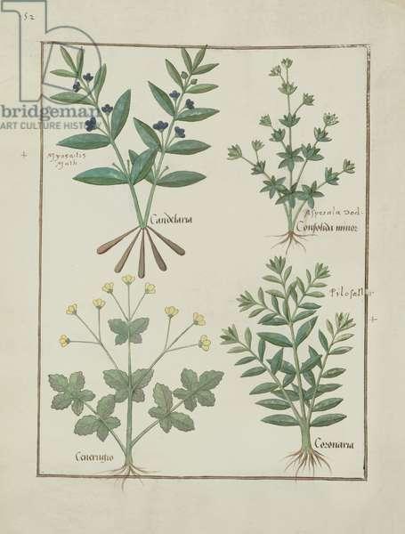 Ms Fr. Fv VI #1 fol.137v Illustration from the 'Book of Simple Medicines' by Mattheaus Platearius (d.c.1161) c.1470 (vellum)