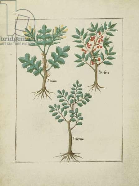 Ms Fr. Fv VI #1 fol.163v Illustration from the 'Book of Simple Medicines' by Mattheaus Platearius (d.c.1161) c.1470 (vellum)