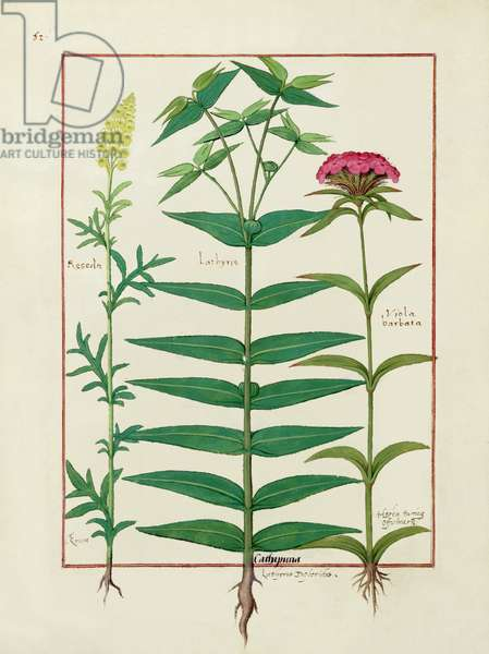 Ms Fr. Fv VI #1 fol. Reseda, Euphorbia and Dianthus, Illustration from the 'Book of Simple Medicines' by Mattheaus Platearius (d.c.1161) c.1470 (vellum)