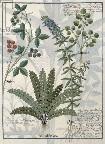 Ms Fr. Fv VI #1 fol.158v Ferns, Brambles and Flowers, Illustration from the 'Book of Simple Medicines' by Mattheaus Platearius (d.c.1161) c.1470 (vellum)