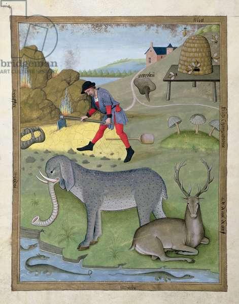 Ms Fr. Fv VI #1 fol.168v Illustration from the 'Book of Simple Medicines' by Mattheaus Platearius (d.c.1161) c.1470 (vellum)
