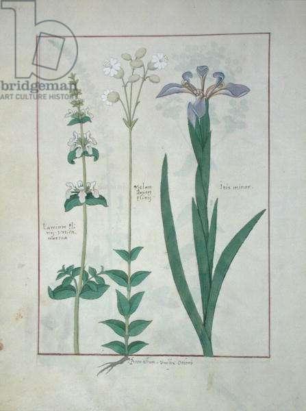 Ms Fr. Fv VI #1 fol.115v Lamium Album or White Dead Nettle, Melandryon, and Iris Minor, illustration from 'The Book of Simple Medicines' by Mattheaus Platearius (d.c.1161) c.1470 (vellum)