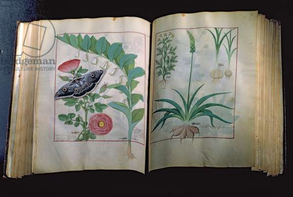 Ms Fr. Fv VI #1 Two pages depicting Rose and Garlic, from 'The Book of Simple Medicines' by Mattheus Platearius (d.c.1161) c.1470 (vellum)