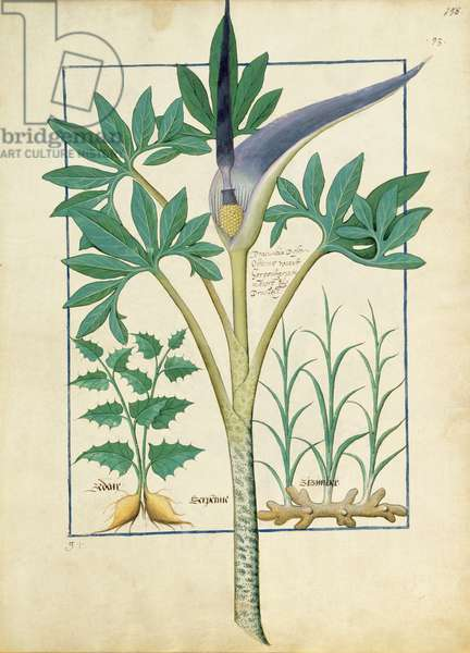 Ms Fr. Fv VI #1 fol.158r Orchid, illustration from the 'Book of Simple Medicines' by Mattheaus Platearius (d.c.1161) c.1470 (vellum)