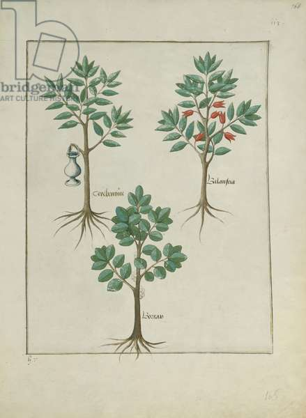 Ms Fr. Fv VI #1 fol.168r Illustration from the 'Book of Simple Medicines' by Mattheaus Platearius (d.c.1161) c.1470 (vellum)