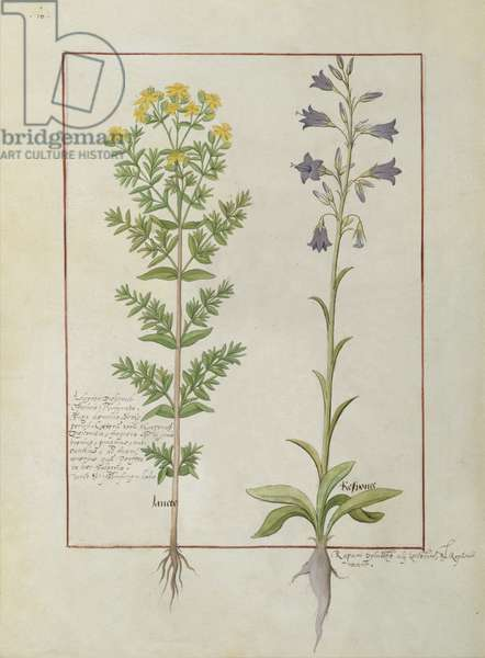 Ms Fr. Fv VI #1 fol.116v Two flowering plants from 'The Book of Simple Medicines' by Mattheaus Platearius (d.c.1161) c.1470 (vellum)