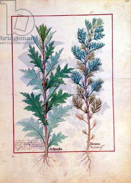 Ms Fr. Fv VI #1 fol.120r Two varieties of Artemesia, illustration from 'The Book of Simple Medicines' by Mattheaus Platearius (d.c.1161) c.1470