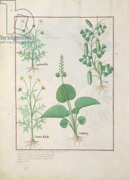 Ms Fr. Fv VI #1 fol.146v Chamomile (top left) and Cucumber (right) Illustration from 'The Book of Simple Medicines' by Mattheaus Platearius (d.c.1161) c.1470 (vellum)