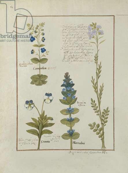Ms Fr. Fv VI #1 fol.141v Illustration from the 'Book of Simple Medicines' by Mattheaus Platearius (d.c.1161) c.1470 (vellum)