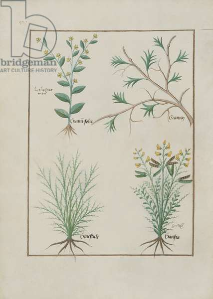 Ms Fr. Fv VI #1 fol.157v Illustration from the 'Book of Simple Medicines' by Mattheaus Platearius (d.c.1161) c.1470 (vellum)