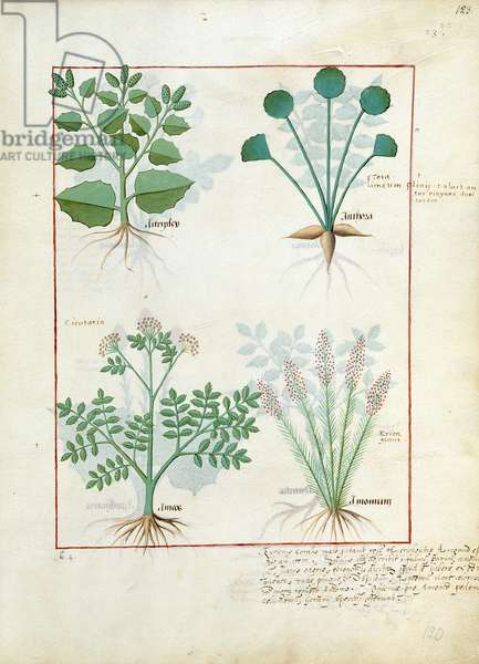 Ms Fr. Fv VI #1 fol.123r Top row: Salt Bush and Anthora. Bottom row: Absinthium and Cardamom, illustration from 'The Simple Book of Medicines' by Mattheaus Platearius (d.c.1161) c.1470 (vellum)
