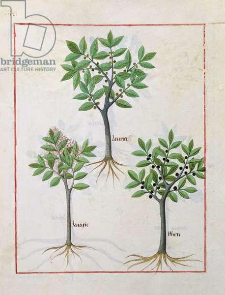 Ms Fr. Fv VI #1 fol.166v Illustration from the 'Book of Simple Medicines' by Mattheaus Platearius (d.c.1161) c.1470 (vellum)