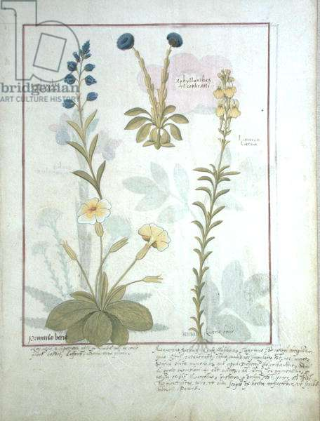 Ms Fr. Fv VI #1 fol.117 Top row: Onobrychis or Sainfoin, and Aphyllanthes. Bottom row: Linaria Lutea, and Primula Veris or Primrose, illustration from 'The Book of Simple Medicines' by Mattheaus Platearius (d.c.1161) c.1470 (vellum)