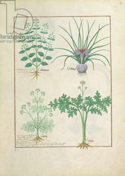 Ms Fr. Fv VI #1 fol.121r Calamint, Crocus, Carraway and Citusa, illustration from 'The Book of Simple Medicines' by Mattheaus Platearius (d.c.1161) c.1470 (vellum)