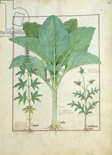 Ms Fr. Fv VI #1 fol.145r Cannabis, Brassica and Thistle, Illustration from the 'Book of Simple Medicines' by Mattheaus Platearius (d.c.1161) c.1470 (vellum)