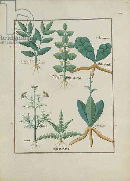 Ms Fr. Fv VI #1 fol.157r Ferns and Shrubs, Illustration from the 'Book of Simple Medicines' by Mattheaus Platearius (d.c.1161) c.1470 (vellum)