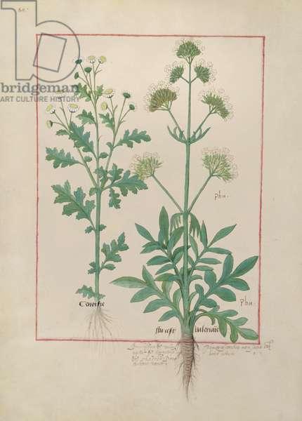 Ms Fr. Fv VI #1 fol.151v Illustration from the 'Book of Simple Medicines' by Mattheaus Platearius (d.c.1161) c.1470 (vellum)