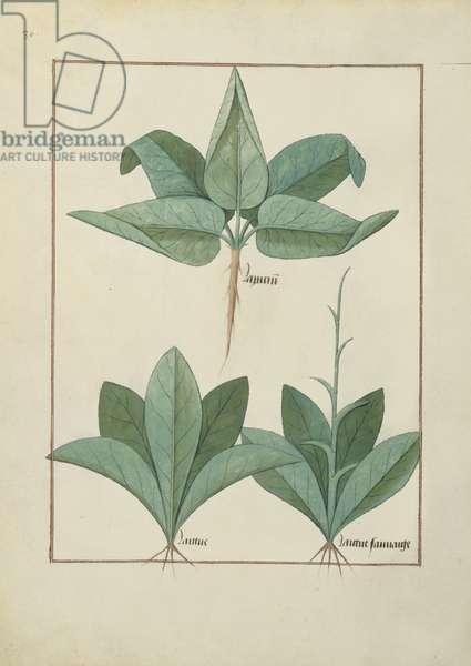 Ms Fr. Fv VI #1 fol.126v Illustration from the 'Book of Simple Medicines' by Mattheaus Platearius (d.c.1161) c.1470 (vellum)