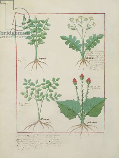 Ms Fr. Fv VI #1 fol.123v Top row: Ligustrum and Acanthus. Bottom row: Grass plant and Apollinaris, illustration from 'The Book of Simple Medicines', by Matthaeus Platearius (d.c.1161) c.1470 (vellum)